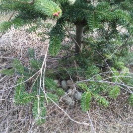 Wild pheasant eggs under a Christmas tree