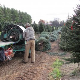 During harvest, Christmas trees are baled to protect the branches during shipments, and to conserve moisture in the tree.